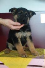 German Shepherd Puppies Looking For New Homes