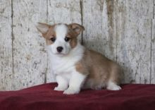 Pembroke Welsh Corgi Puppies Looking For New Homes