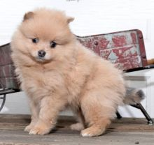 Pomeranian Puppies Looking For New Homes