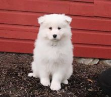Samoyed Puppies Looking For New Homes
