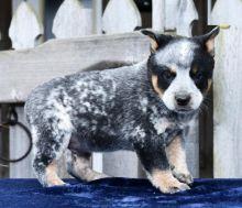 Blue Heeler Puppies Looking For New Homes Image eClassifieds4U