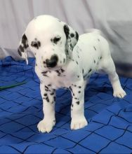 C.K.C MALE AND FEMALE DALMATIAN PUPPIES AVAILABLE