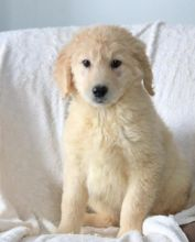 C.K.C MALE AND FEMALE GOLDENDOODLE PUPPIES AVAILABLE
