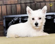 C.K.C MALE AND FEMALE WEST HIGHLAND TERRIER PUPPIES AVAILABLE