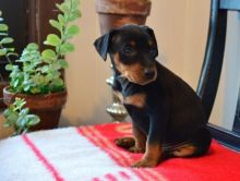 C.K.C MALE AND FEMALE MINIATURE PINSCHER PUPPIES AVAILABLE Image eClassifieds4U