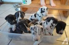 Charming Great Dane Puppies Ready For Good Homes :Call or Text (709)-500-6186 or mispaastro@gmail.c