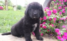 Home Raised Newfoundland Puppies For Sale - Text Now (204) 817-5731)