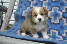 Pembroke Welsh Corgi Puppies for Sale :Call or Text (709)-500-6186 or mispaastro@gmail.com