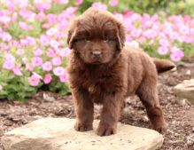 Amazing Newfoundland Puppies Available Now-Text Now (204) 817-5731) Image eClassifieds4u 1