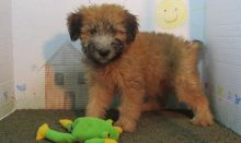 Energetic Soft Coated Wheaten Terrier Puppies For Sale-Text Now (204) 817-5731)