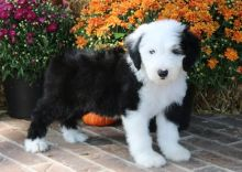Adorable Old English Sheepdog Puppies Ready For Sale-Text Now (204) 817-5731)