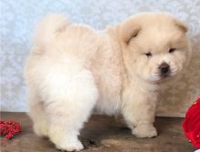 Friendly and Adorable Chow Chow Puppies Now Available-Text Now (204) 817-5731)