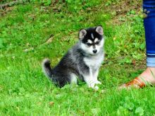Handsome Pomsky Puppies Ready Now -Text Now (204) 817-5731)