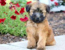 One of a kind Soft Coated Wheaten Terrier Puppies For Sale-Text Now (204) 817-5731)