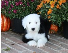 Outstanding Old English Sheepdog Puppies Ready For Sale-Text Now (204) 817-5731)