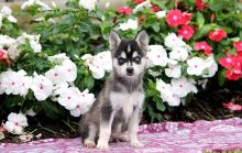 Active and Friendly Alaskan Klee Kai Puppies For Sale-Text now (204) 817-5731
