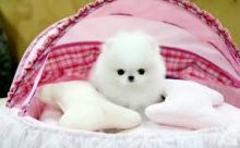 Adorable cream white Pomeranian puppy