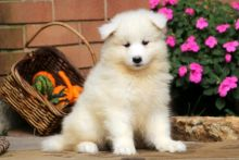 cKc Reg Pedigree Male/Female Samoyed Pups With Papers-Text now (204) 817-5731