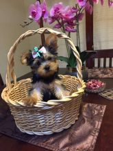 male and female Healthy Yorkie Pups