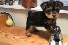 male and female Quality Bred Family Rasied Yorkie Pup