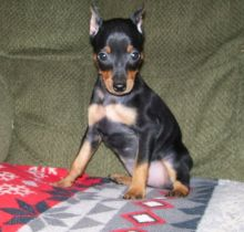 Miniature Pinscher Puppies For Good Homes-Text Now (204) 817-5731)