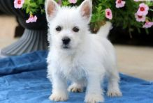 West Highland White Terrier Pups-Text now (204) 817-5731