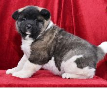 C.K.C MALE AND FEMALE AKITA PUPPIES AVAILABLE