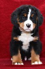 C.K.C MALE AND FEMALE Bernese Mountain Dog PUPPIES AVAILABLE