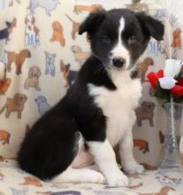 C.K.C MALE AND FEMALE BORDER COLLIE PUPPIES AVAILABLE