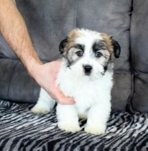 C.K.C MALE AND FEMALE Morkie PUPPIES AVAILABLE