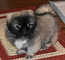 C.K.C MALE AND FEMALE PEKINGESE PUPPIES AVAILABLE]