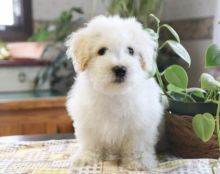 C.K.C MALE AND FEMALE BICHON FRISE PUPPIES AVAILABLE Image eClassifieds4U
