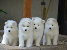 Cute Samoyed Puppies ready male and female