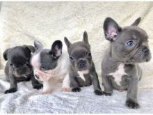 Blue French bulldog puppies ready male and female