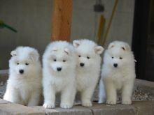 Charming Samoyed pups male and female