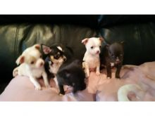 Cute Apple head Teacup chihuahua puppies available.