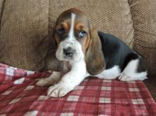Basset Hound Puppies Available