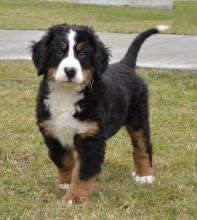Bernese Mountain Puppies Available