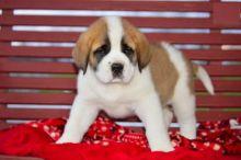 Saint Bernard Puppies Available