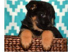 Adorable German Shepherd puppies. Image eClassifieds4U