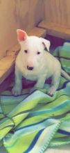 Bull Terrier Puppies Available Image eClassifieds4U