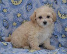 Maltipoo Puppies Available Image eClassifieds4U