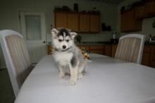 Pomsky Puppies Available Image eClassifieds4U