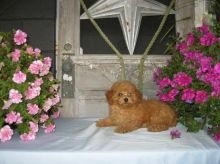 Toy Poodle Puppies Available Image eClassifieds4U