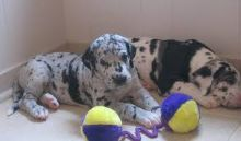 Great dane puppies ready