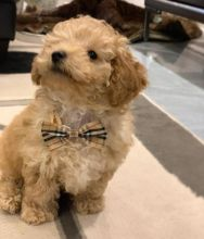 Adorable Ckc Toy Poodle Puppies
