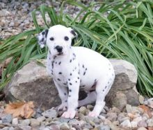 Dalmatian Puppies Available