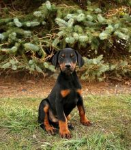Doberman Pinscher Puppies Available