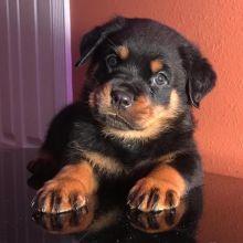 Energetic Ckc Rottweiler Puppies