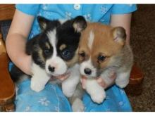 Home Trained Pembroke Welsh Corgi Puppies Available